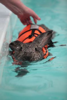 Heidi The Rabbit Goes Swimming In A Lifejacket To Help With Her Arthritis