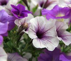 blau bl hende pflanzen und blumen bestimmen illustration botanique pinterest blumen. Black Bedroom Furniture Sets. Home Design Ideas