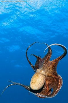Reef octopus in Lanai, Hawaii~