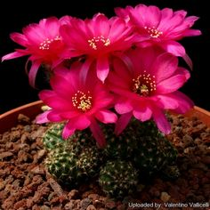 Imágenes de cactus floridos y cómo conseguirlo