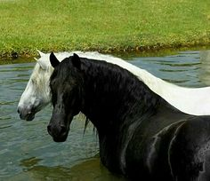 Black and white horse in water