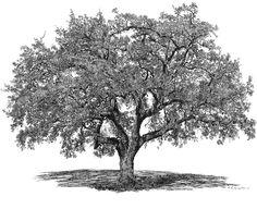 Big Tree Studio Live Oak County Charter Oak