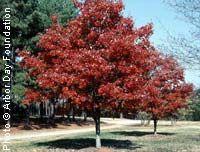 Maple, 'October Glory'—Acer rubrum 'October Glory'