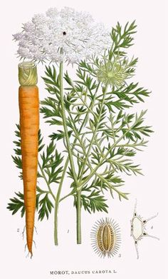 poison_Daucus_carota Queen Anne's lace or ild carrot Vintage Botanical Prints, Botanical Drawings, Botanical Illustration, Botanical Art, Vintage Prints, Illustration Art, Art Floral, Impressions Botaniques, Potager Bio