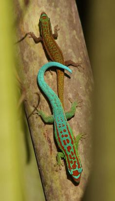 Blue-tailed day gecko. This lizard belongs to the middle sized day geckos. It can reach a total length of about 15 cm. There always is a dorso-lateral strip present, which may be broken. A red stripe extends from the nostril to the shoulder.