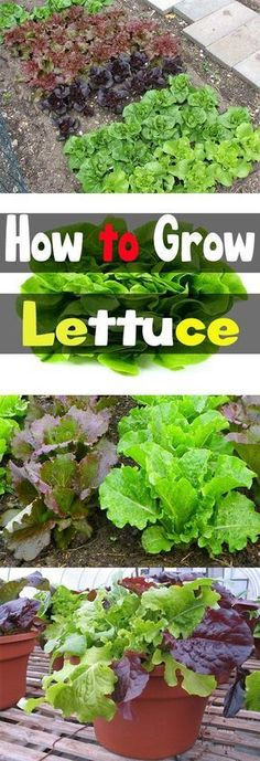 Want to grow your own organic lettuce right in your backyard Here s my gardening guide to show you how to grow lettuce