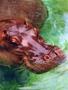 The oldest Nile hippopotamus in North America has died at age 59 at the Cleveland Metroparks Zoo. Blackie the hippopotamus — who was brought to the zoo from Africa in 1955 and sired three males — had to be euthanized Monday (Jan. 13, 2014) due to illness related to his old age, zoo officials announced.  Most hippos live to be 30 or 40, and Blackie could possibly be the oldest male Nile hippo ever documented.