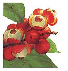 Floricultura Multiflora Fernandopolis: Conheça Todos os Segredos do Guaraná