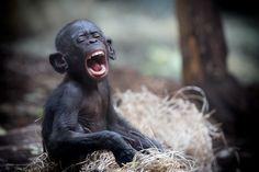 https://flic.kr/p/pgmttP   Bonobo Zoo Frankfurt