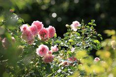 Rosiers buissonnants, plusieurs variétés qui allient le charme de la rose ancienne (nombreux pétales) avec les couleurs actuelles plus vives. Elles sont souvent parfumées.  ©Arnaud Childeric Flower Wallpaper, Shabby, Flowers, Plants, Gardens, Beautiful Roses, Rose Trees, English People, Glamour