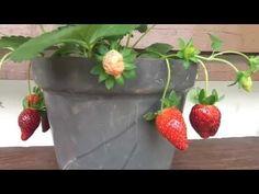 Como plantar morangos em vasos, processo completo!