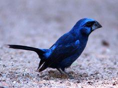 twatwa; braziliaanse blauwe bisschoppen; picolet; sporophila | Tropische vogels advertenties