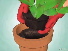 Obrázek nazván Care for a Christmas Cactus Step 14