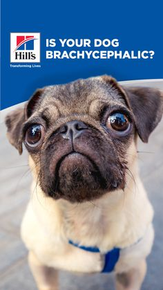 If you've never heard of brachycephalic dogs, you might think that this term refers to some type of canine disorder that you would want to avoid. But the truth is that this term applies to some of the most popular and beloved dog breeds. Here's all you need to know about these adorable short-nosed dogs. Hills Science Diet, Soft Palate, Animal Nutrition, Best Dog Breeds, Health Challenge, Dog Care, Need To Know, French Bulldog, Your Dog