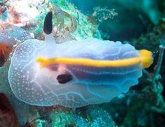 The Sea Slug Forum - Halgerda toliara