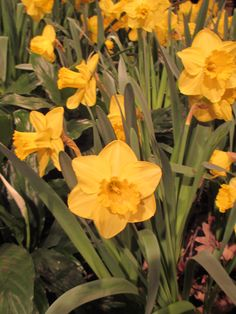 Bright, happy daffodils at the Macy's Flower Show 2015