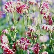 Aquilegia vulgaris var. stellata 'Nora Barlow' (Barlow Series)    Columbine 'Nora Barlow', Granny's bonnet 'Nora Barlow', Grannies bonnet 'Nora Barlow', Clematis-flowered granny's bonnet 'Nora Barlow' , Clematis-flowered columbine 'Nora Barlow'. Click image to get care advice reminders and add to your plants list in Shoot. 'Nora Barlow' is an upright herbaceous perennial, with nodding, spurless, double flowers and divided, dark-green leaves.