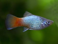 Platy Fish, Red Tuxedo, Just Fresh, Blue Tuxedos, Fish Care, Aquatic Plants, Coral Blue, Freshwater Fish, Tropical Fish