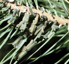European sawfly larvae on pine needles