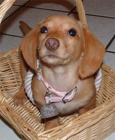 Cute little girl, Mini Dachshund .