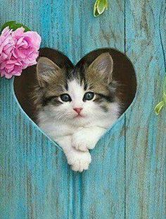 PetsLady's Pick: Cute Kitten Heart Of The Day...see more at PetsLady.com -The FUN site for Animal Lovers