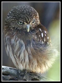 ~~Ferruginous Pygmy-owl by byard~~
