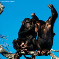 Chimpanzees are apes, not monkeys. How can you easily tell the difference? Monkeys have tails, while apes do not.