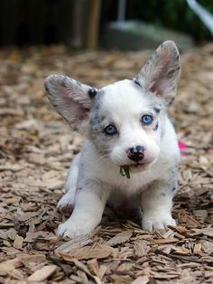 A spotted puppy with blue eyes chewing on some greens.
