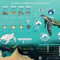 پوستر لاکپشتهای دریایی خلیج فارس و دریای عمان توسط انجمن طرح سرزمین با حمایت اداره کل حفاظت محیط زیست استان بوشهر منتشر شد  #plan4theland #seaturtles #persiangulf #persian_gulf #turtles #wildlife #wwf #biodiversity #conservation #Oman_Sea #iran #boushehr #boushehrlovers #natgeo  #infographic #infographics #wcs
