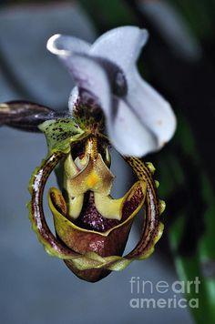 #RARE #ORCHID 3 - Paphiopedilum gratrixianum..   Prints & Cards available:  http://kaye-menner.artistwebsites.com/featured/rare-orchid-3--paphiopedilum-gratrixianum-kaye-menner.html  -