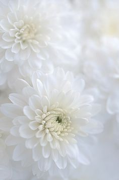 White Chrisanthemum