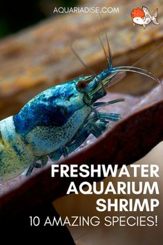 10 Freshwater shrimp species 10 amazing freshwater shrimp for your aquarium Freshwater Aquarium Shrimp, Tropical Freshwater Fish, Tropical Fish Aquarium, Fish Aquariums, Tropical Fish Tanks, Aquarium Design, Glass Aquarium, Aquarium Ideas, Shrimp Tank