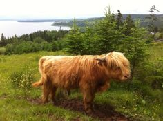 Highland Cattle from the Highland Village CB