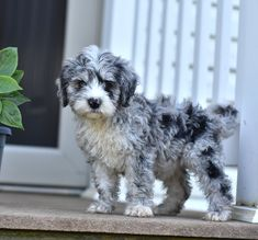 💮💜😊 Hi, we would love to be your best friends! These awesome #Sheepadoodle puppies are looking for someone to go on adventures with. They would love to be your little tag along! #LancasterPuppies www.LancasterPuppies.com Puppies For Sale, Dogs And Puppies, Doggies, New Puppy, Puppy Love, Sheepadoodle Puppy, Goldendoodle, Puppy Quotes, Lancaster Puppies