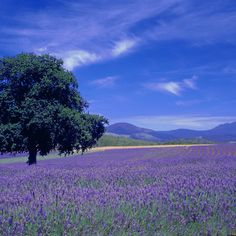 The Bridestowe Estate Lavender Farm, Tasmania, Australia. A field of lavender. how nice that would be. I must go here when I finally take a trip to Tassie. Tasmania, Beautiful Farm, Beautiful Places, Great Places, Places To Visit, Names Of Artists, Lavender Fields, Healing Herbs, Australia Travel