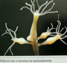 Hidra-do-mar - reprodução assexuada