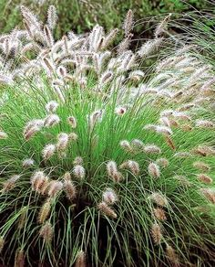 Pennisetum Hameln makes a lovely feathery clump in a border! Just bought 2!
