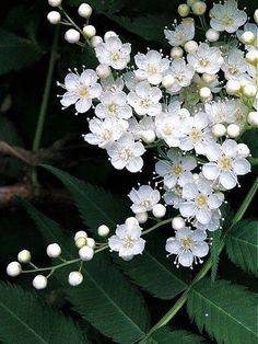 photo: tiny white flowers against a deep green background . photo: tiny white flowers against a de