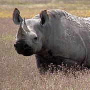 http://action.endangered.org/p/dia/action3/common/public/?action_KEY=18771 - Please urge the U.S. Fish and Wildlife Service to deny these applications for import permits. With approximately 5,000 left in the wild, black rhinos need to be protected, not killed by trophy hunters.