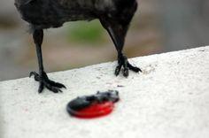 Naakka ja vadelmalaku-kompiainen. Pääkallon muotoinen Bald Eagle, Photography, Photograph, Photo Shoot, Fotografie, Fotografia