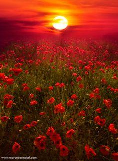 Poppy Fields, South Coast England © Marco Carmassi!