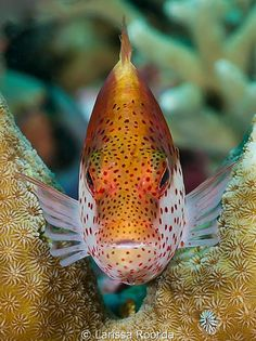 Freckled Hawkfish, also known as Forster's Hawkfish or Blackside Hawkfish (Paracirrhites forsteri) - Pacific, Papua New Guinea Underwater Creatures, Underwater Life, Underwater Photos, Ocean Creatures, Life Under The Sea, Under The Ocean, Vida Animal, Beautiful Sea Creatures, Beneath The Sea