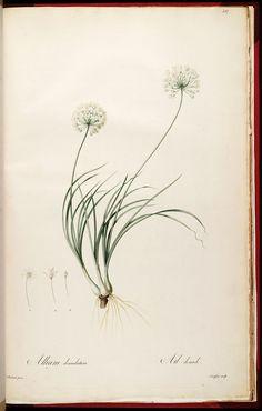 Allium denudatum by Redoute