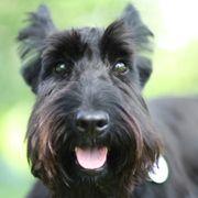 Brandy Barks | Modern Scottie Dog Blog  Look at that sweet face!
