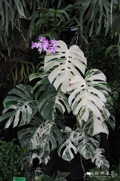 Monstera deliciosa 'Albo Variegata'... WOW. might need to try and find one