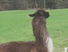 Happy llama - Google Search