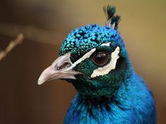 Blauer Pfaue / Peacock