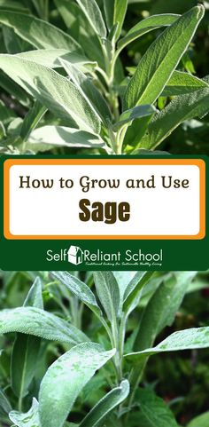 Sage shines as food, medicine and an addition to your beauty routine! Here's how to grow, cook and preserve it, plus medicinal uses. #beselfreliant via @sreliantschool