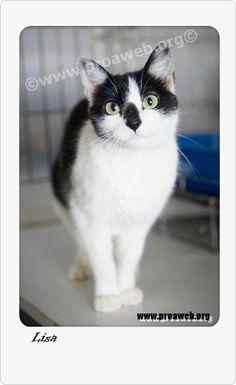 Raza gato blanco pelo corto