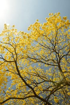 tabebuia guayacan, beautiful!